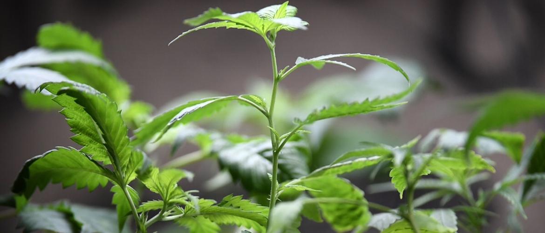 Marijuana Plants for Dispensaries